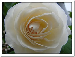 20 avril ~ purete_rose_blanche_fleur_belle_nature_arbuste